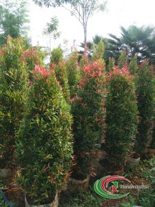harga pohon pucuk merah di bogor