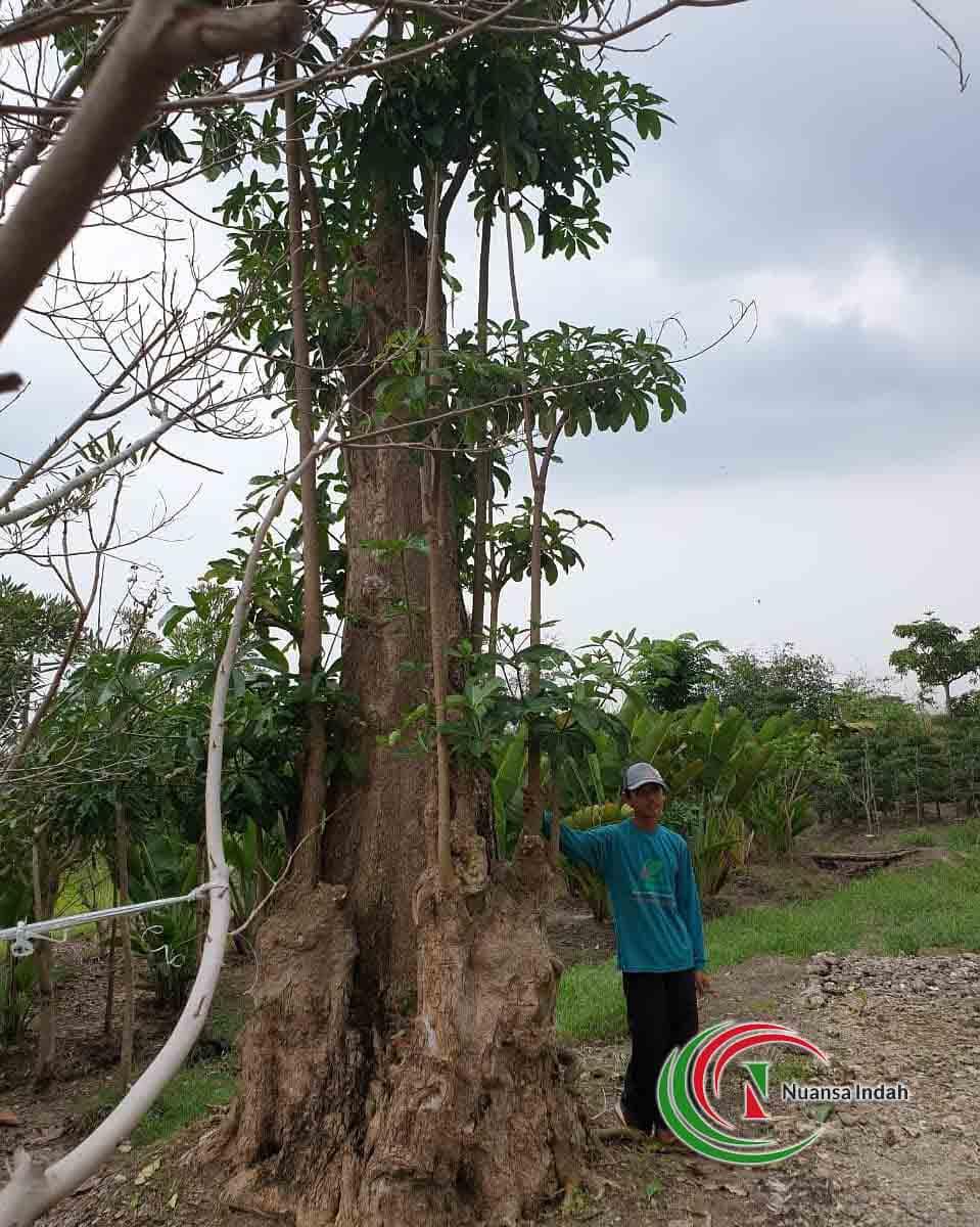 harga pohon pule terbaru