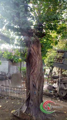 jual pohon bodi di bogor