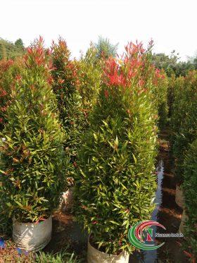 jual pohon pucuk merah di bogor