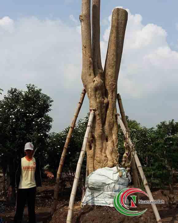 pangkalan pohon pule di bogor