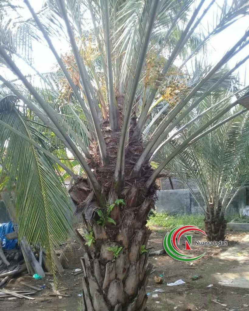 harga pohon kurma