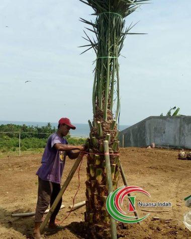 penjual tanaman kurma berbuah