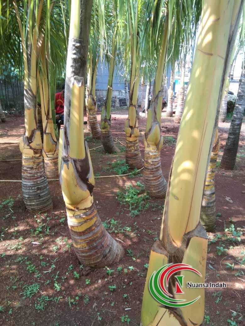 Jual Pohon Kelapa Gading Sukabumi Tanaman Kelapa Kuning Berbuah