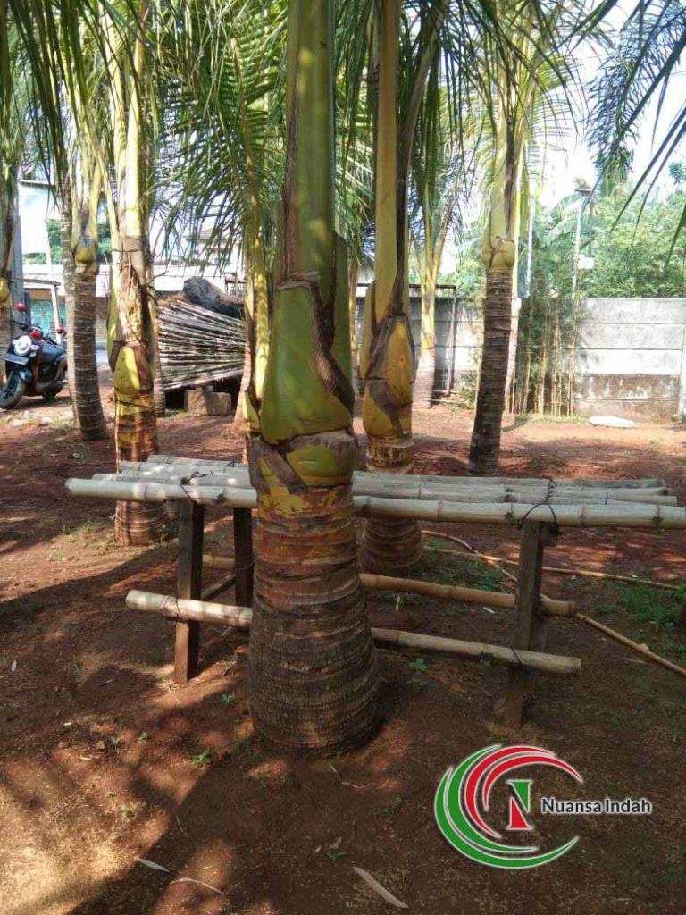 jual tanaman kelapa gading
