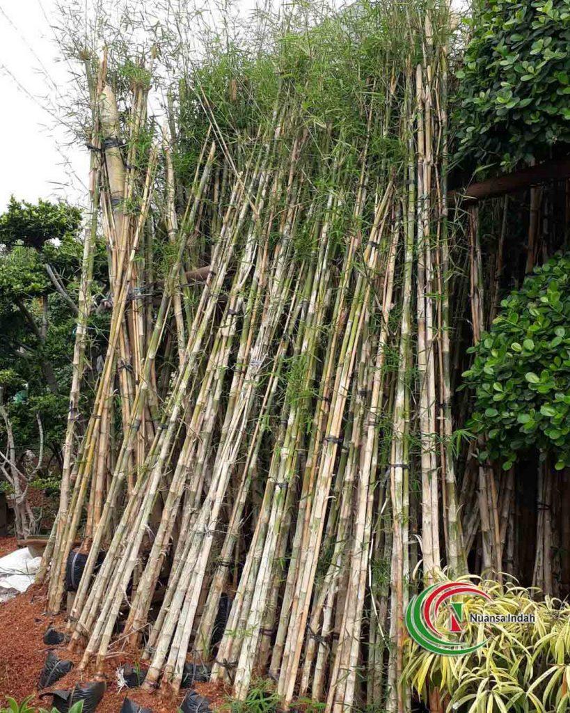 jual bambu jepang