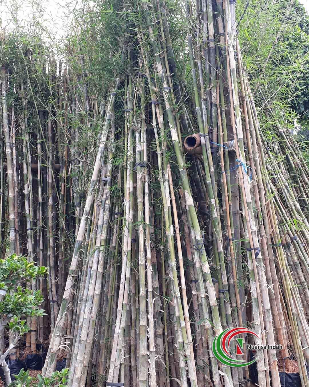 jual bambu panda