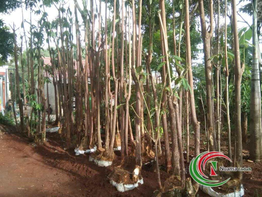 pusat pohon pule