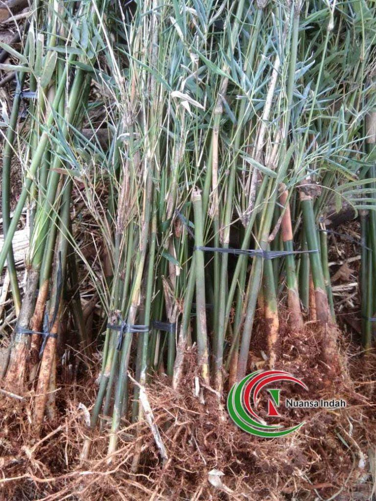 Jual Bambu Cina