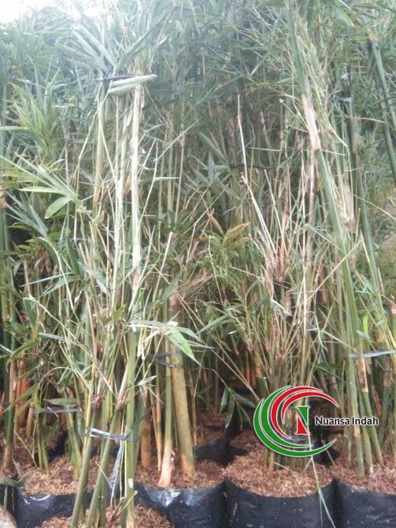 Jual Pohon Bambu Kelisik
