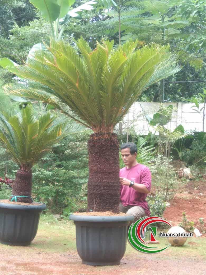 Jual Pohon Sikas di Depok Siap Kirim dan Tanam tanaman sikas