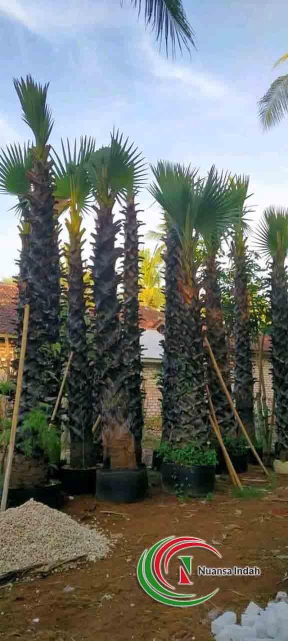 pusat pohon lontar