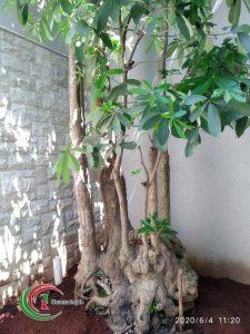 Pohon Pule Fosil